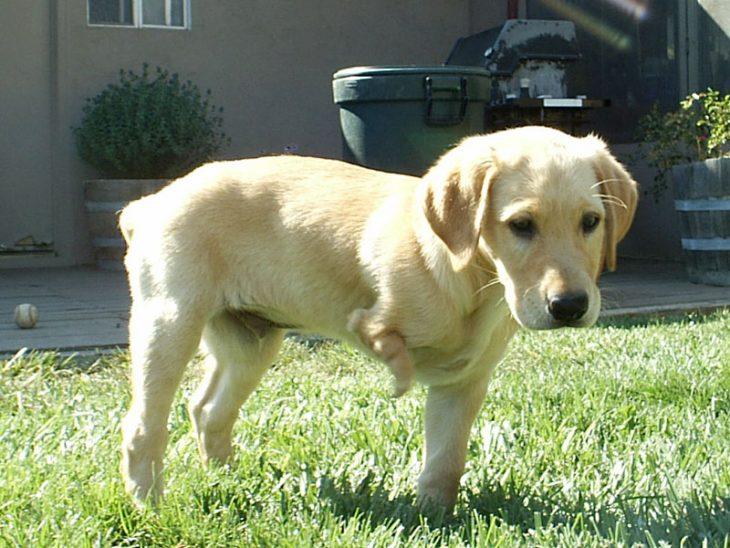 Cachorro labrador sin una pierna