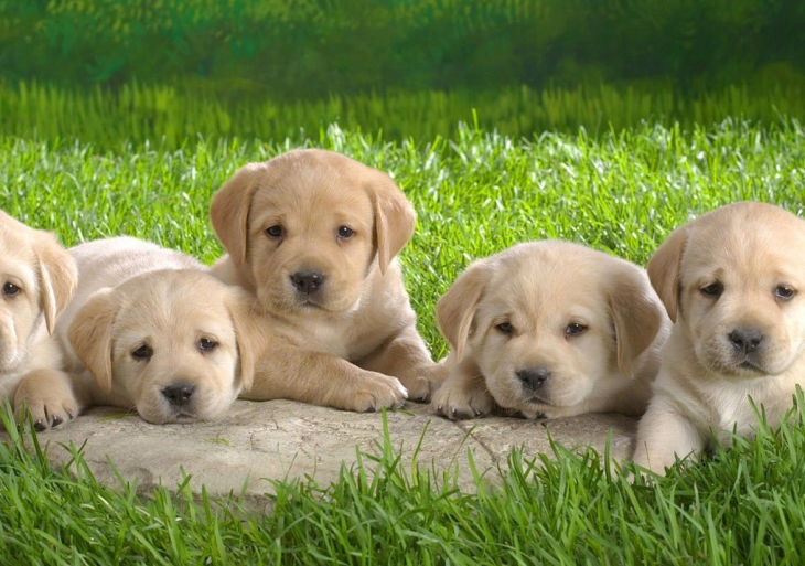 Cachorros labrador sentados en una piedra que està en el pasto