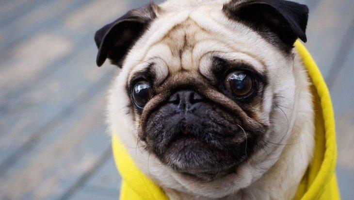 Pug con cara de susto y sudadera amarilla