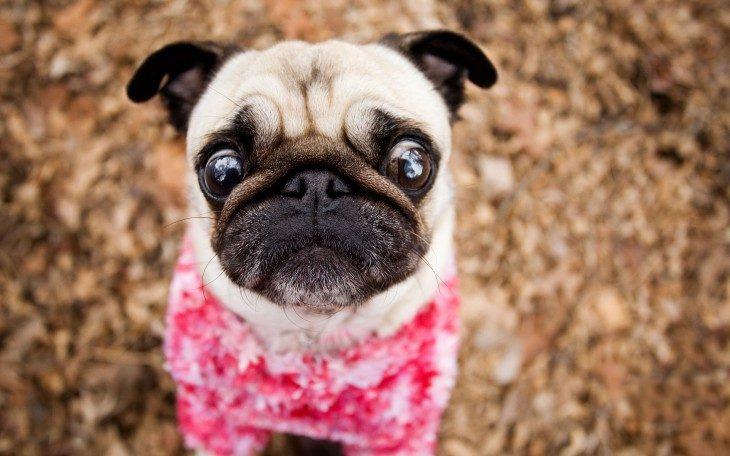 Pug con expresión de miedo y suéter rosa