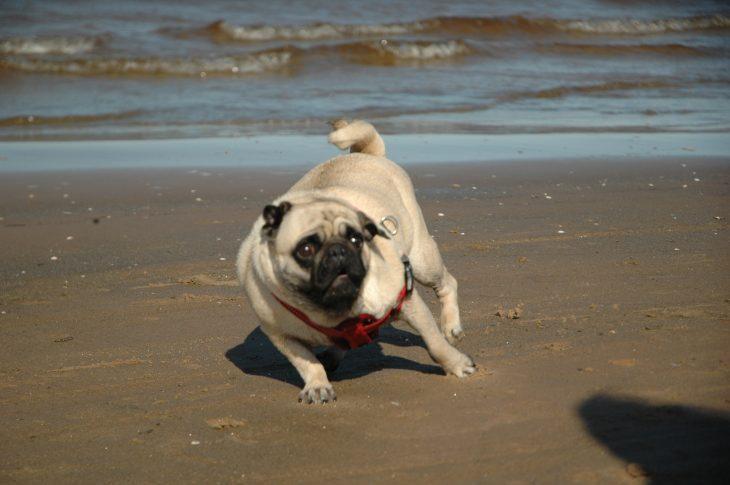 Pug se espanta con sombra en la playa