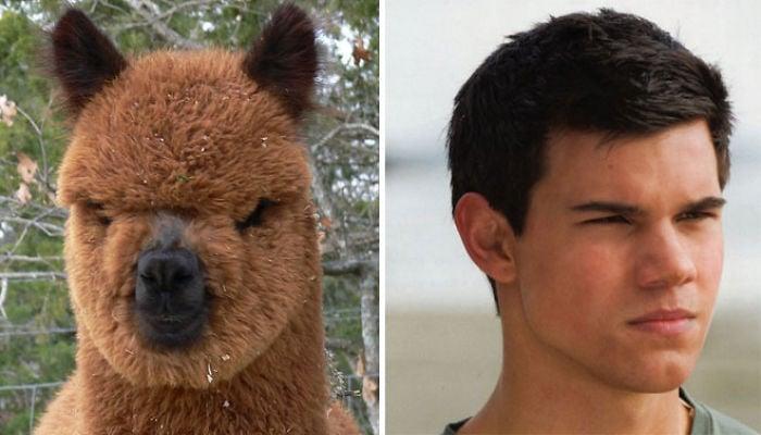 cosas que se parecen a otras, jacob black es igual a una alpaca