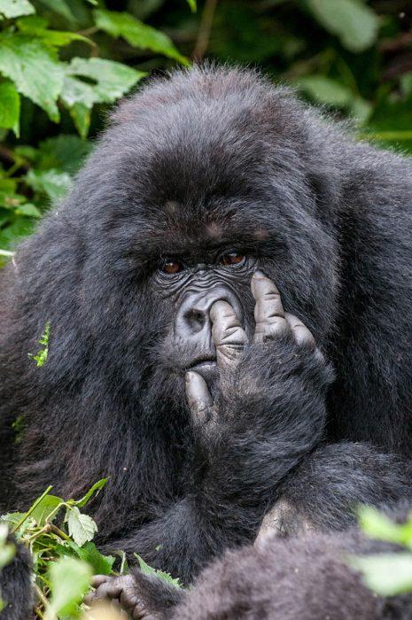 gorila picándose la nariz