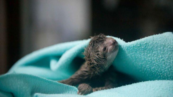 perezoso recién nacido