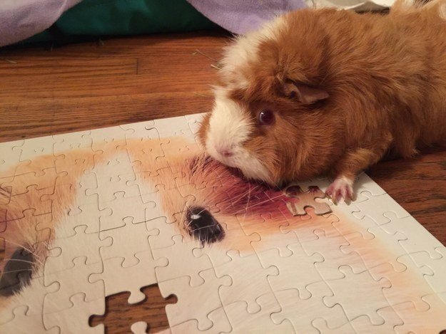 hamster con rompecabezas