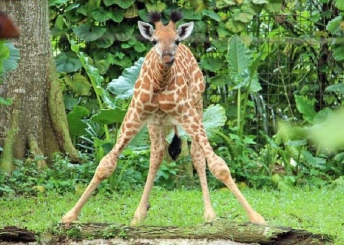 jirafa aprendiendo a caminar