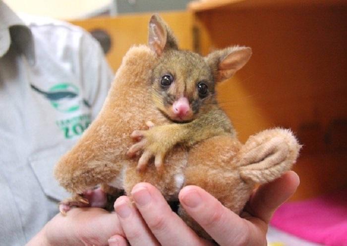 canguro bebé