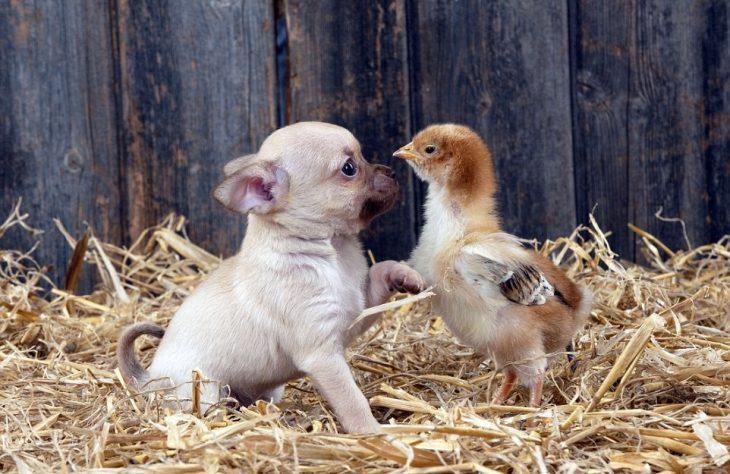 cachorro y pollo