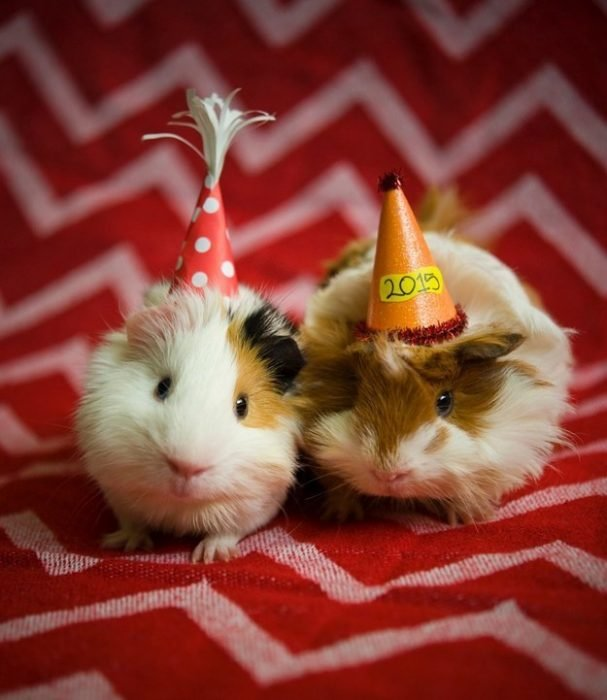 hamster con gorros de fiesta