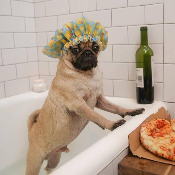 Perro pug en una bañera con vino y una pizza