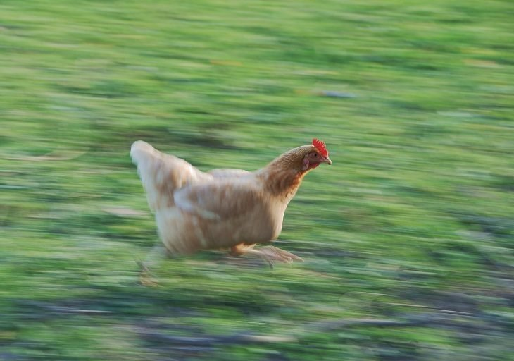 gallina corriendo