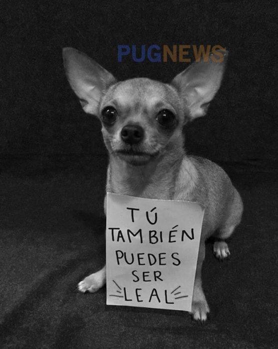 Perrito chihuahua con un cartel exigiendo sus derechos en el movimiento de perrinismo