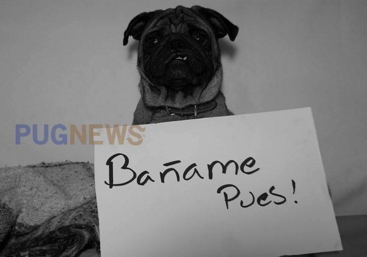 Perrito pug exigiendo sus derechos con un cartel durante un movimiento llamado perrinismo