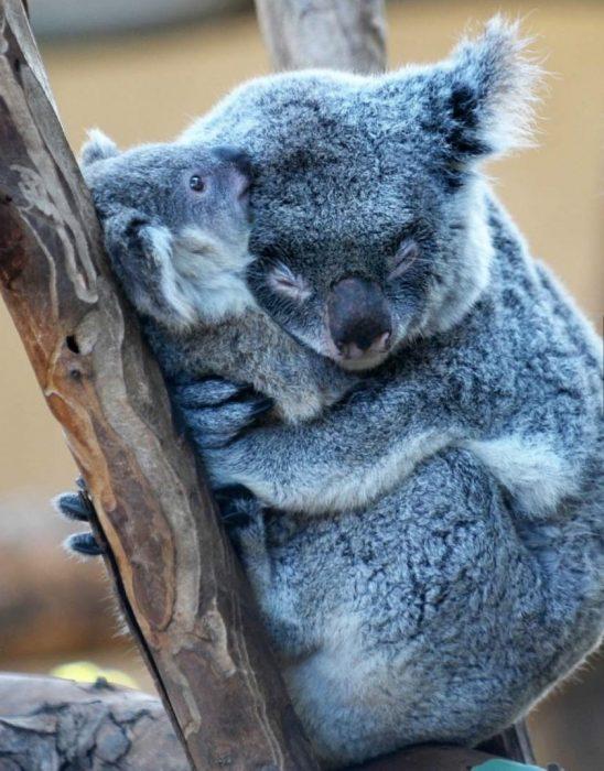 koala abrazando a su crío