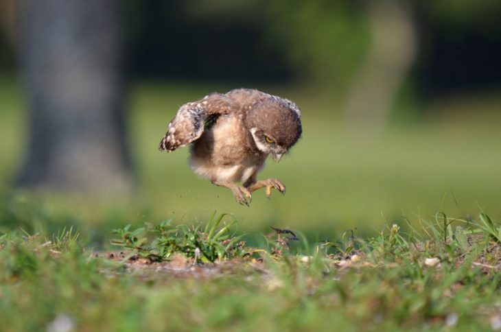 búho bebé brincando