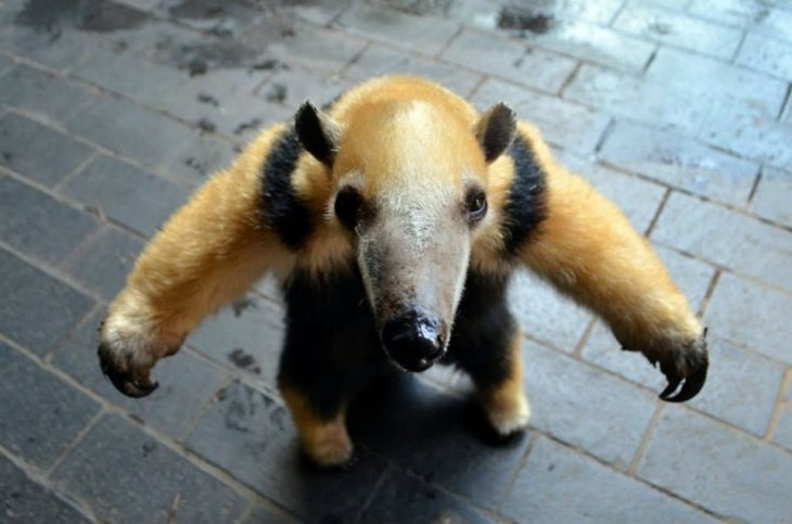 oso hormiguero bebé