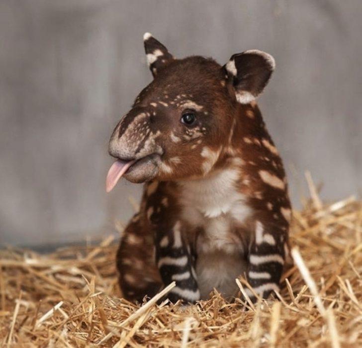 tapir bebé