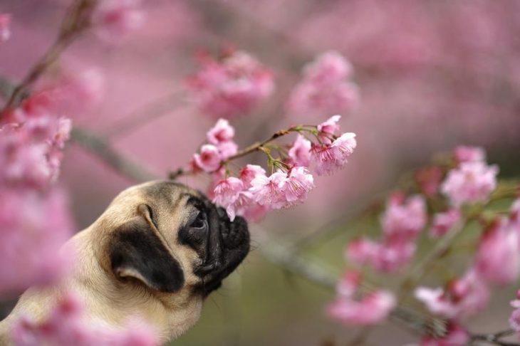 pug entre flores
