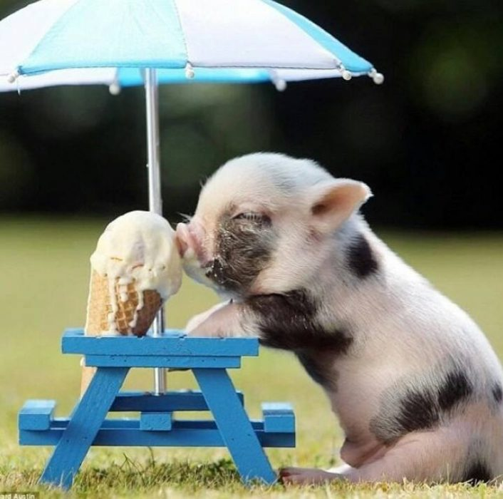 puerco bebé comiendo helado
