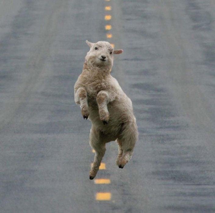 oveja brincando en el camino