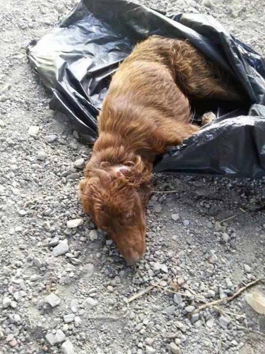 Perro maltratado que fue encontrado en una bolsa de basura