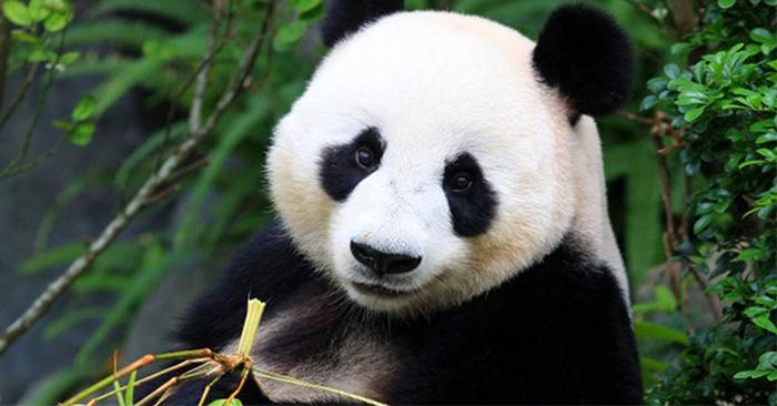 Trabajo donde te pagan por ser un abrazador de pandas profesional