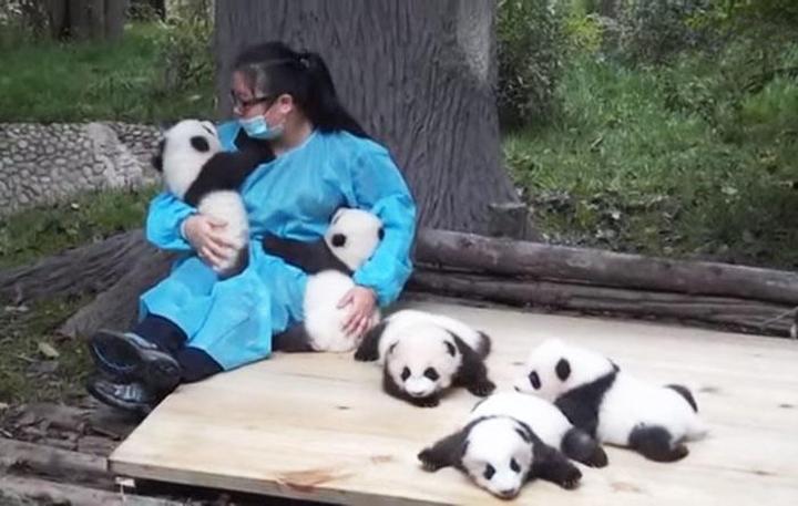 abrazador de pandas profesional trabaja con pandas bebe