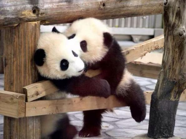 par de pandas bebés dandose un beso tierno