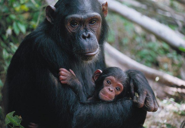 chimpancé y cría