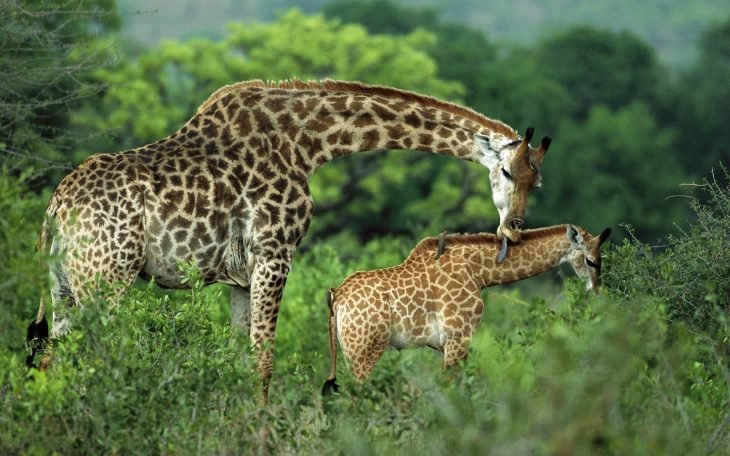 jirafa y cría