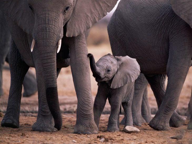 elefantes y cría
