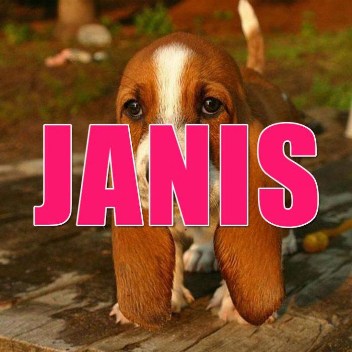 Perro Basset hound cachorro