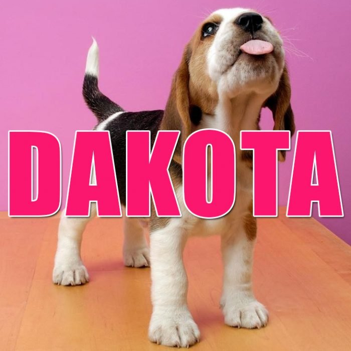 Perro Beagle sacando la lengua