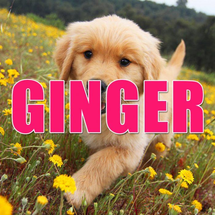 Perro golden cachorro