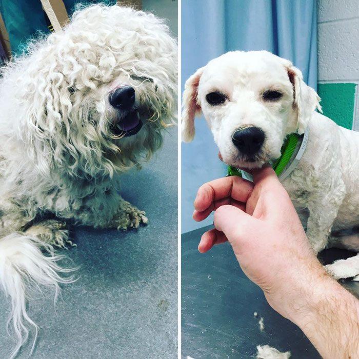 Perro antes y después de cortarle el pelo