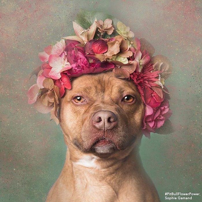 Pitbull café con flores en la cabeza