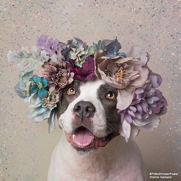 Pitbull gris y blanco con flores en la cabeza