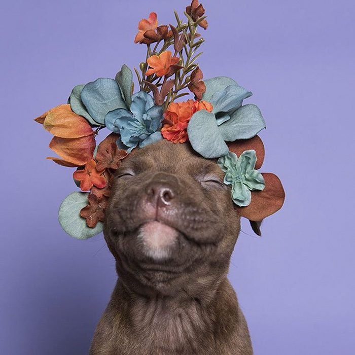 Pitbull cachorro feliz con flores en la cabeza