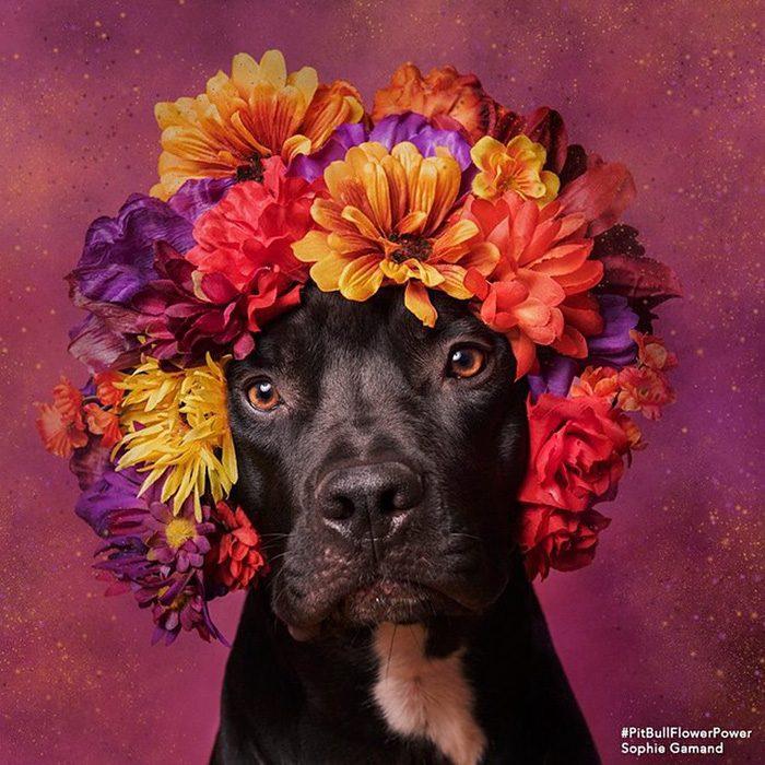 Pitbull negro con flores en la cabeza