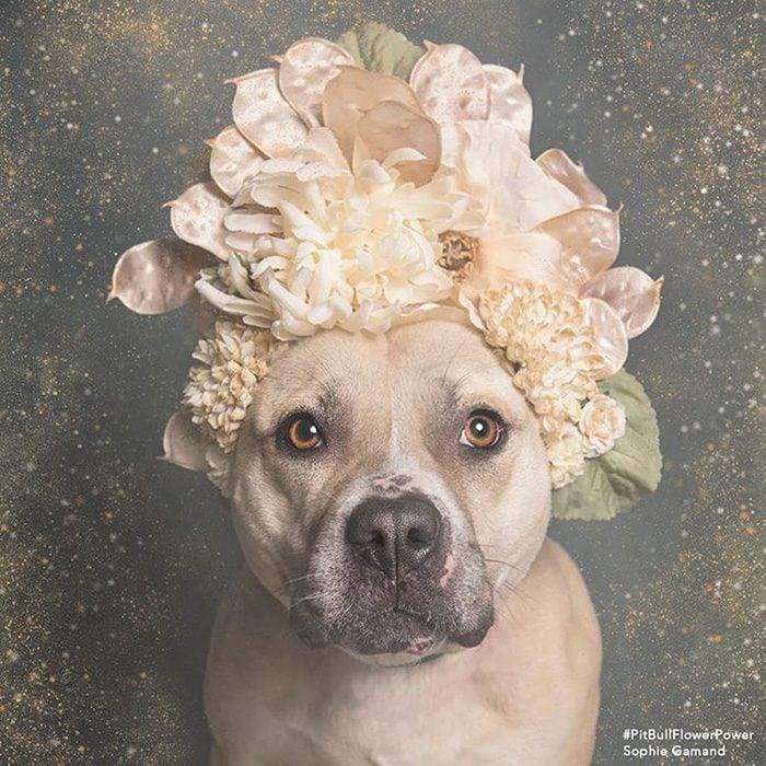 Pitbull con flores en la cabeza