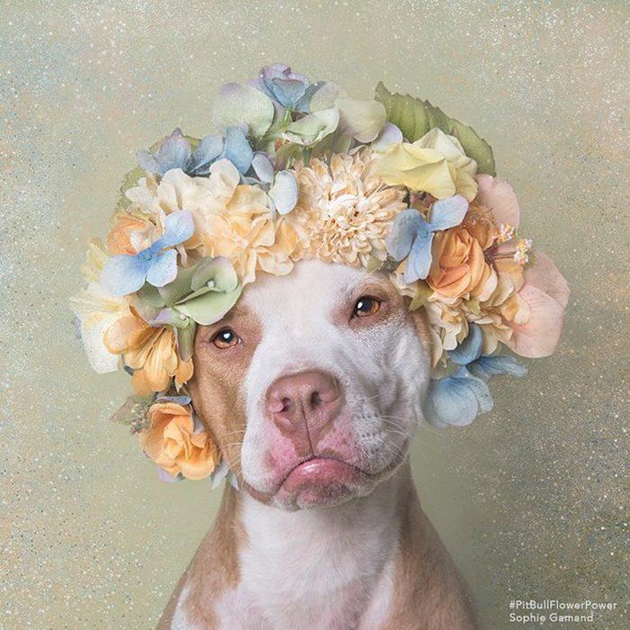 Pitbull café y blanco con flores en la cabeza