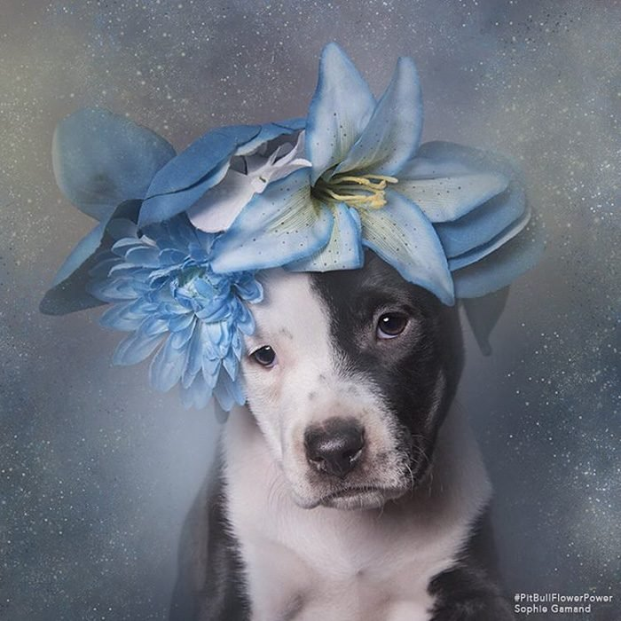 Pitbull negro y blanco con flores en la cabeza