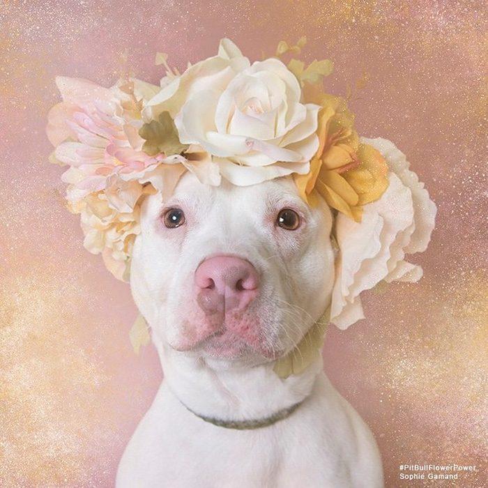 Pitbull blanco con flores en la cabeza