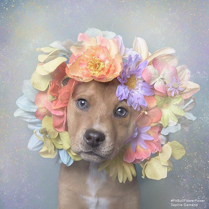 Pitbull cachorro con flores en la cabeza