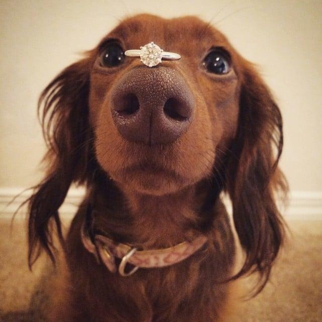 propuesta de matrimonio con el anillo en la nariz de un perrito