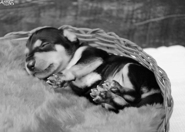 Pequeño cachorro dormido