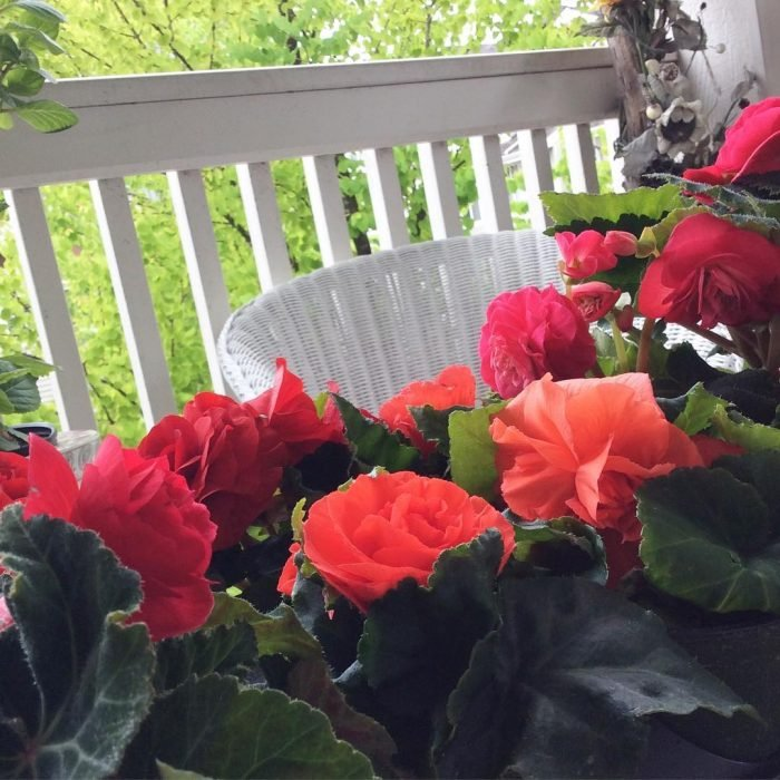 Ramo de begonias