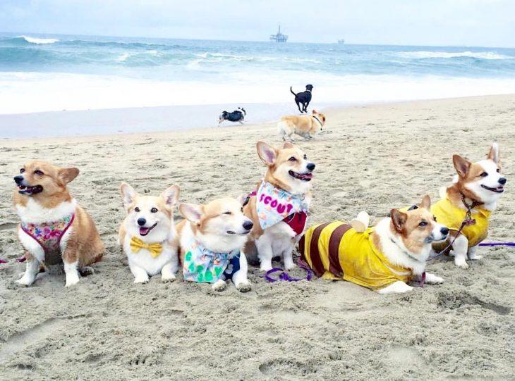 Día de playa del corgi