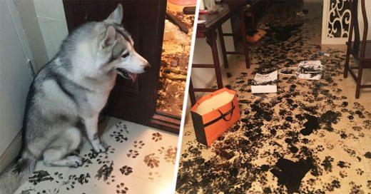Perra Husky se queda sola por 3 horas redecora el departamento