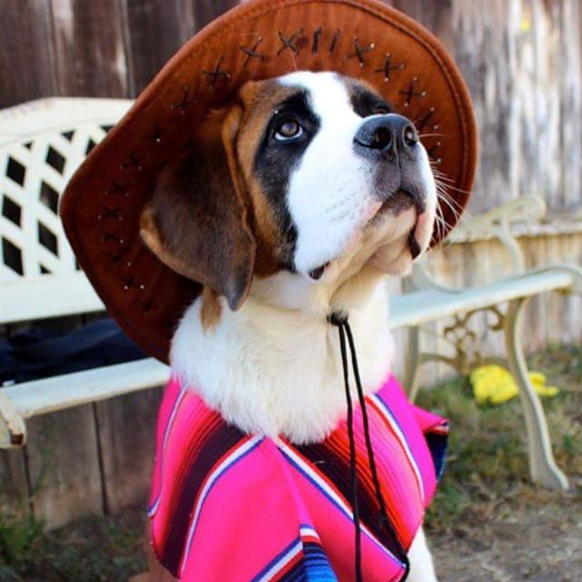 cachorro san bernardo con sombrero y jorongo rosa